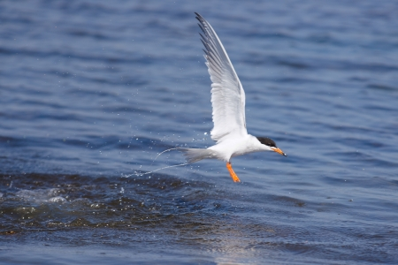animals feeding: Common Tern Stock Photo