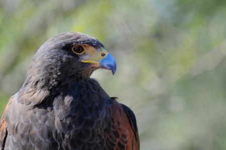 Portrait of a Harris Hawk  Parabuteo unicinctus   photo