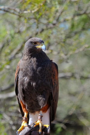 Portrait of a Harris Hawk (Parabuteo unicinctus). photo