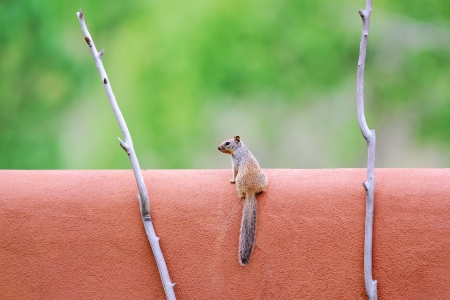 Rock squirrel on a adobe wall in Santa Fe, New Mexico Stock Photo - 14894997