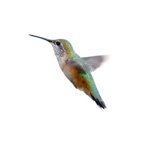 Rufous Hummingbird isolated on white