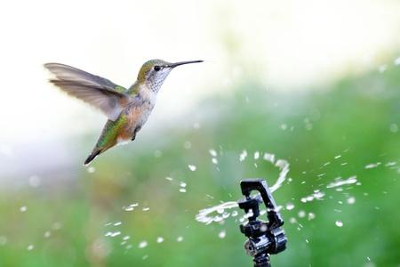 庭のスプリンクラーから水を介して飛んで Rufous ハチドリ