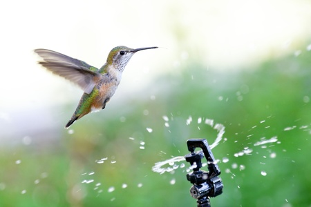 Rufous Hummingbird  flying through water from a garden sprinkler