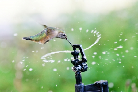 rufous: Rufous Hummingbird  flying through water from a garden sprinkler