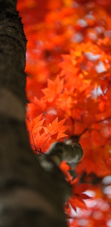 gifu: Autumn color of Japanese maple in Gifu prefecture, Japan