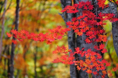 Autumn color of Japanese maple in Gifu prefecture, Japan photo