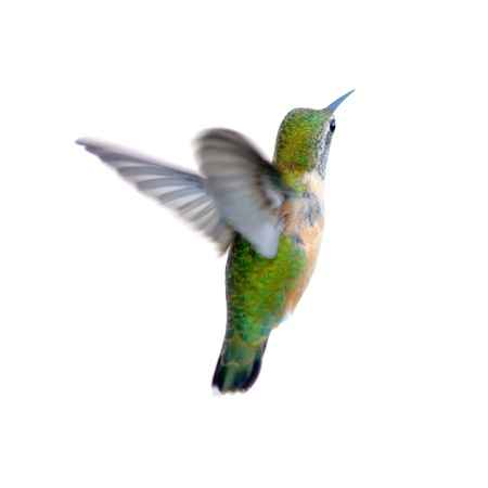 rufous: Rufous Hummingbird isolated on white