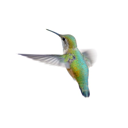 pajaros volando: Colibr� rufo aislado en blanco