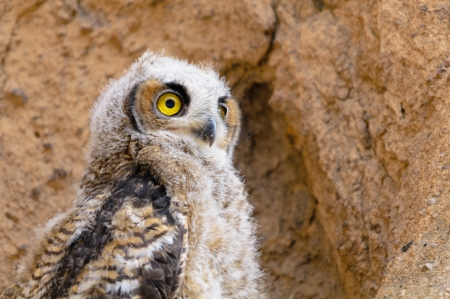 Young Great Horned Owl in mojave desert of California USA photo