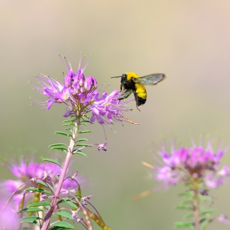 A Bumblebee flying to a flower in Great Sand Dunes National Park , Colorado USA. photo