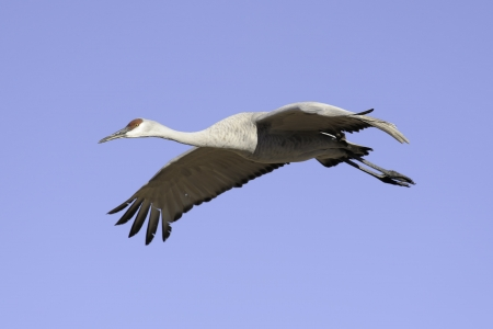 sandhill crane: Sandhill crane was flying against the blue sky at Bosque del Apache national wildlife refuge in New Mexico. Stock Photo