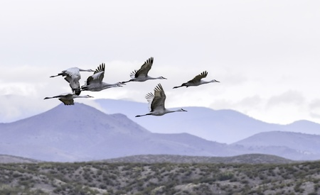 Sandhill cranes were flying at Bosque del Apache national wildlife refuge in New Mexico. photo