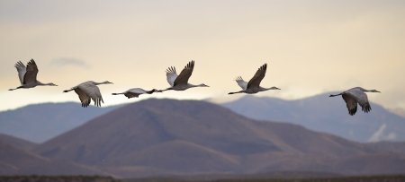 crane bird: Sandhill cranes were flying at dusk in Bosque del Apache national wildlife refuge, New Mexico USA.