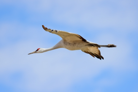 Sandhill cranes were flying against the blue sky at Bosque del Apache national wildlife refuge in New Mexico.