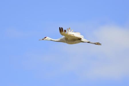 sandhill crane: Sandhill crane flying at Bosque del Apache national wildlife refuge in New Mexico. Stock Photo