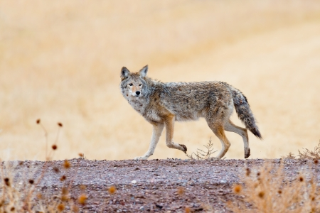 Coyote prowling  on the road in Bosque del Apache national wildlife refuge in New Mexico. Stock Photo