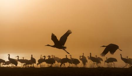Sandhill cranes in Bosque del Apache national wildlife refuge, New Mexico. photo