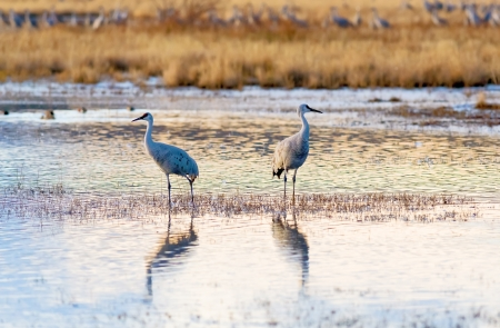 Pair of Sandhill cranes at Bosque del Apache national wildlife refuge in New Mexico. photo