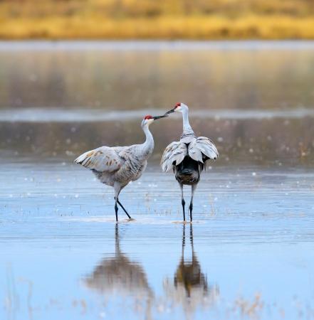 sandhill crane: A Pair of Sandhill Cranes at Bosque del Apache National Wildlife Reserve in New Mexico USA.