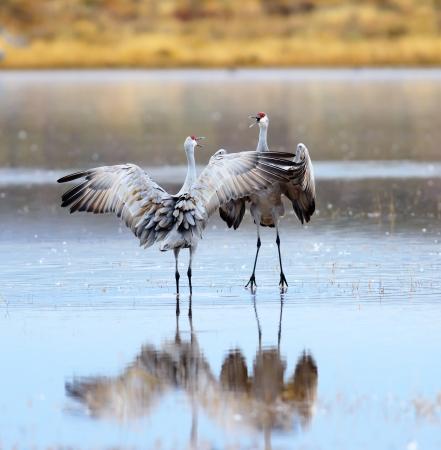 米国ニュー メキシコの Apache 国立野生生物保護区で Bosque デル ダンス サンドヒル クレーンのペア。