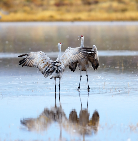 A Pair of Sandhill Cranes Dancing at Bosque del Apache National Wildlife Reserve in New Mexico USA.