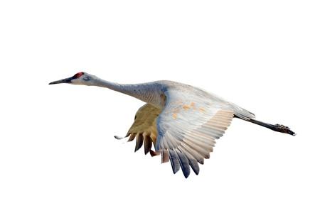sandhill crane: Sandhill crane flying, isolated on white background