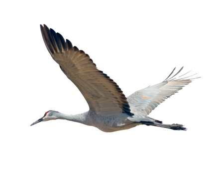 Sandhill crane flying, isolated on white background