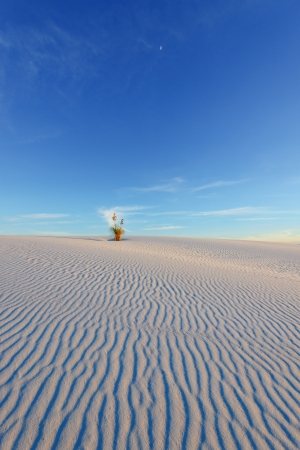 chihuahua desert: Yucca on the rippled sand under the moon at last light of a day in White Sands National Monument, New Mexico, USA.