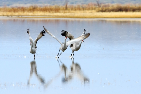 wildlife refuge: Sandhill cranes taking off at Bosque del Apache national wildlife refuge in New Mexico.