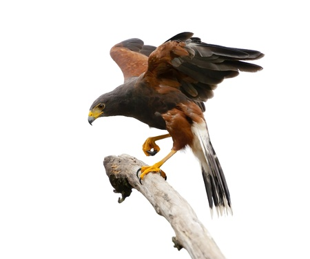 Harris Hawk perching on a branch, Isolated on a white background.