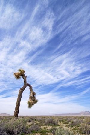 Joshua Tree  in the Mojave Desert, California. Stock Photo - 17698242