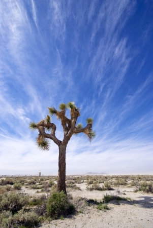 Joshua Trees  in the Mojave Desert, California. Stock Photo - 17818880