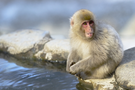 Snow monkey  (Japanese macaque) Sticking Out Tongue