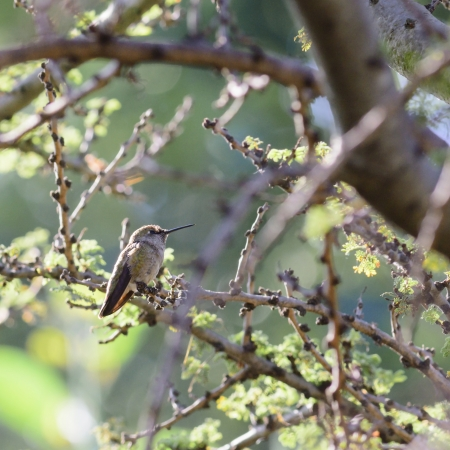 Hummingbird Perched in Tree photo