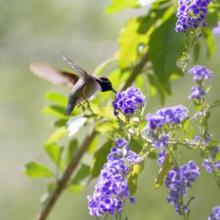 ハチドリの餌付けは、紫の花。