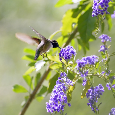 hummingbird feeding on purple flowers. Stock Photo