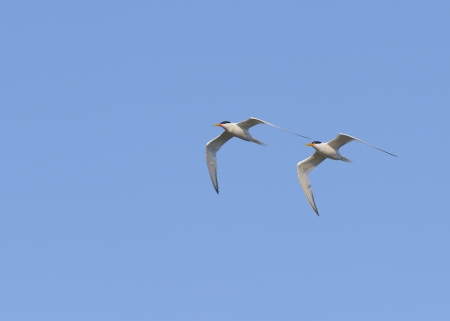 Two Arctic Terns in fright. photo