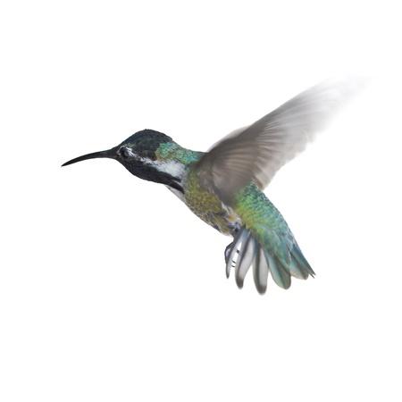 白い背景の上の飛行中ハミングバード 写真素材
