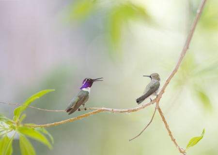 A male hummingbird saying something to to the  female cheerfully. photo