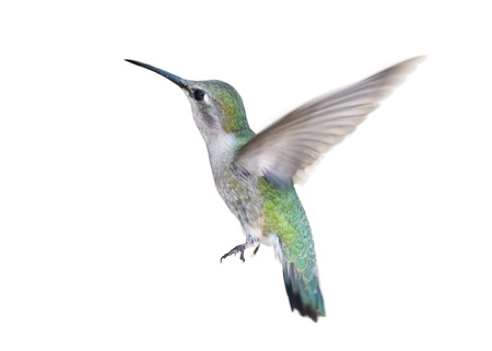 Hummingbird in flight on white background