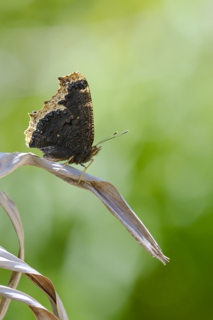 A NYMPHALIS ANTIOPA sits on a dead leaf Stock Photo - 20743603