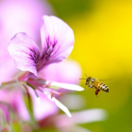 ピンクの花に近づいてミツバチ