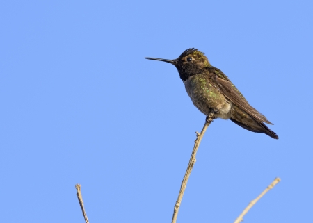 Hummingbird  perching on a branch against clear blue sky  Stock Photo