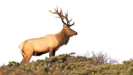 elk point: Tule Elk on a white background  Point Reyes National Seashore, California