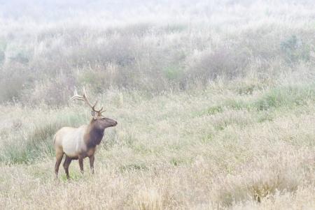 elk point: Bull Elk in foggy meadow of Point Reyes National seashore
