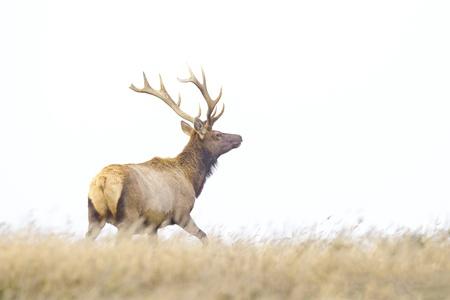 elk point: Tule Elk in Point Reyes National Seashore, California  Stock Photo