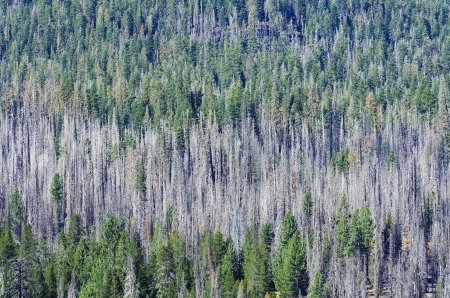 Forest of burnt trees and green  Lassen Volcanic National Park, California  photo