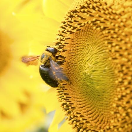 rotund: A carpenter bee on a sunflower  Stock Photo