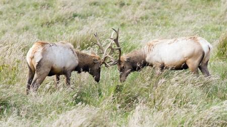 elk point: Tule Elk bulls Sparring head to head in Point Reyes National Seashore, California