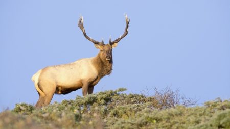 elk point: Tule Elk in Sunset light  Point Reyes National Seashore, California
